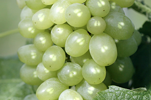Polifenoles de pepitas de uva